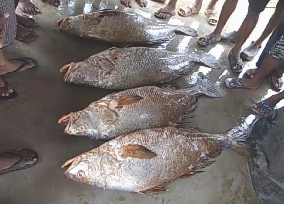 Ghol fish 1