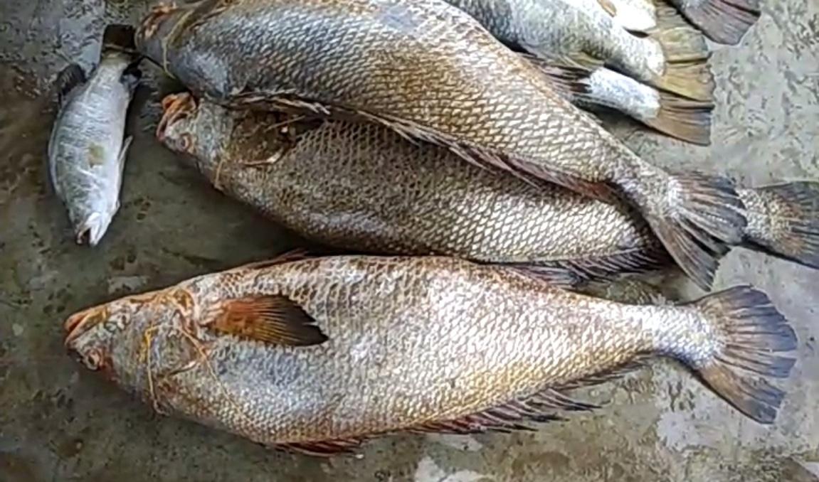 Ghol fish 2