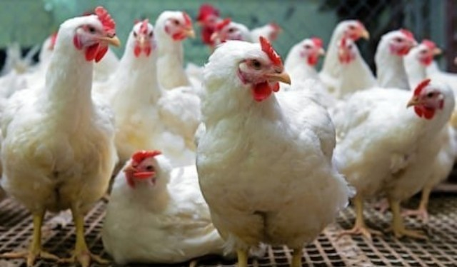 Poultry as bad as red meats for cholesterol, says study