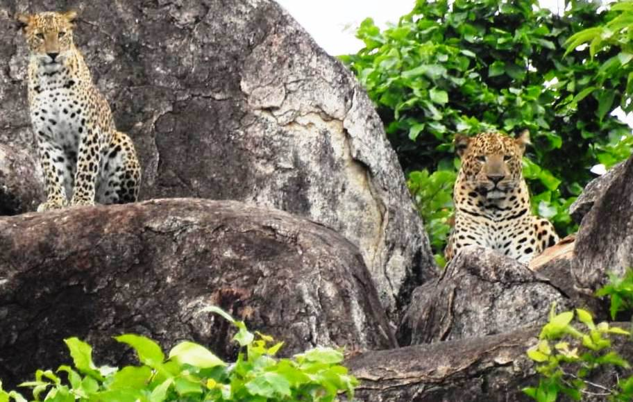 leopard nuapada