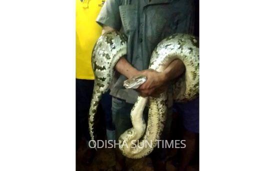 python rescued (1)