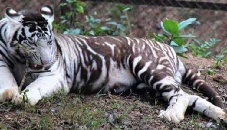 tiger subhranshu
