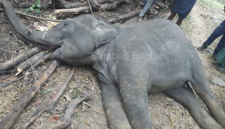 elephant calf death (1)