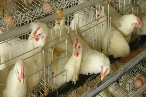 Chicken-consumption