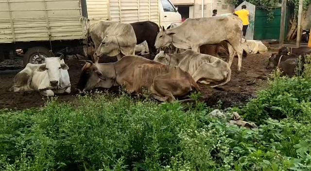 cattle rescue-cuttack