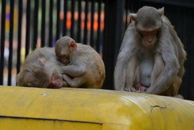 monkey-kalua