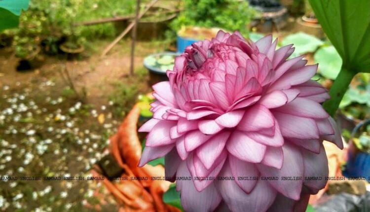 1000 petals lotus