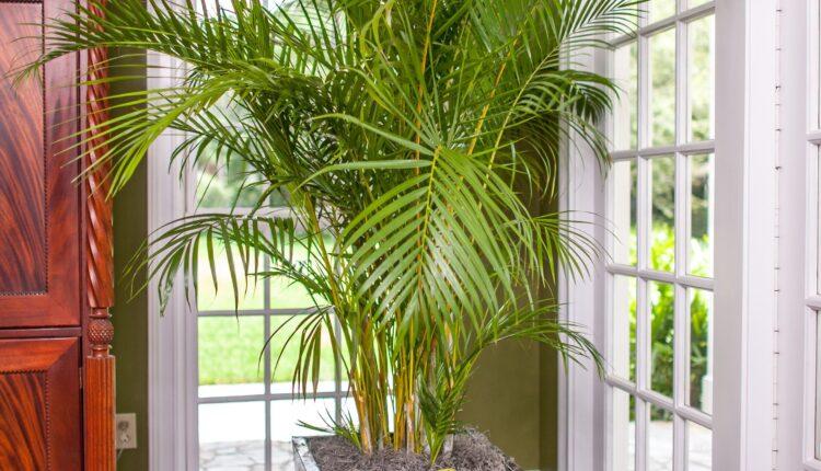 indoor Areca Palm