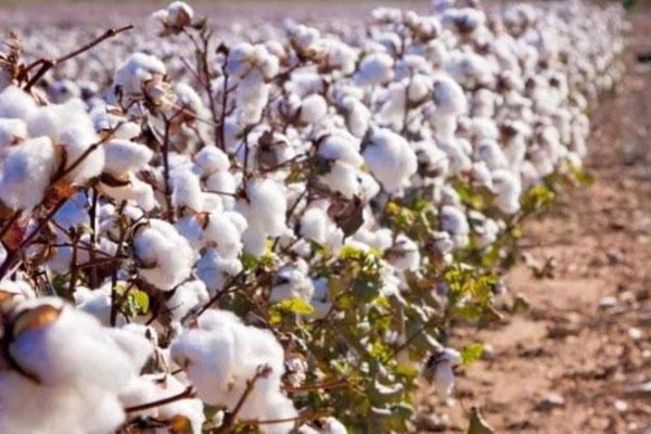 cotton-crops
