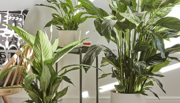indoor-peace-lily