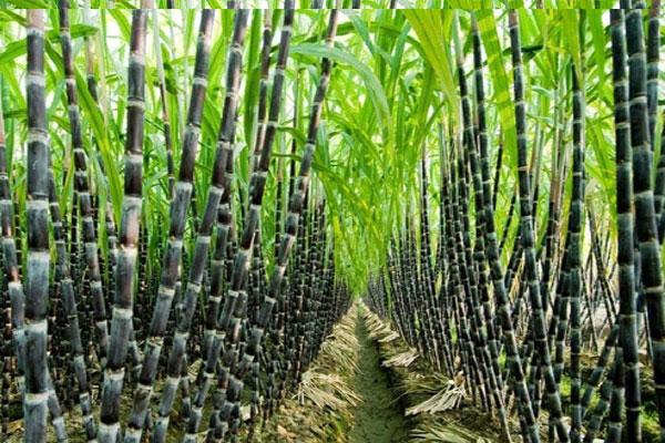 sugarcane-farm