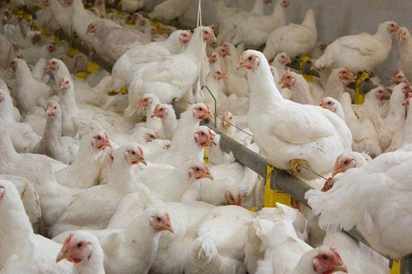 avian-flu