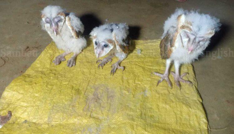 rare barn owl rescued