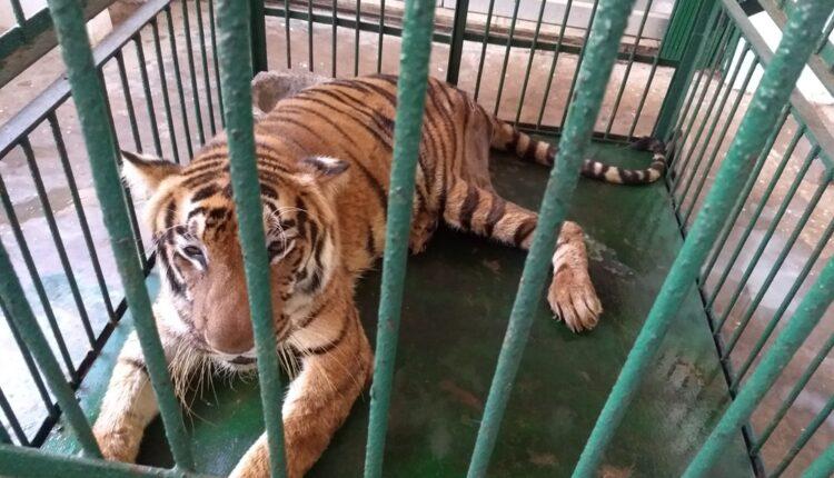 renuka tigress