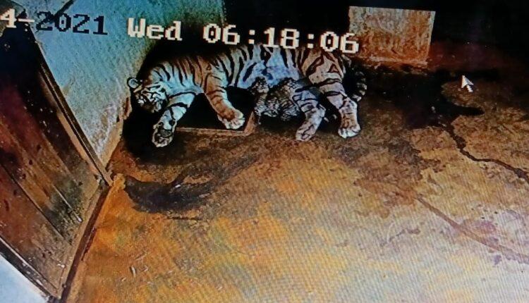 tigress megha