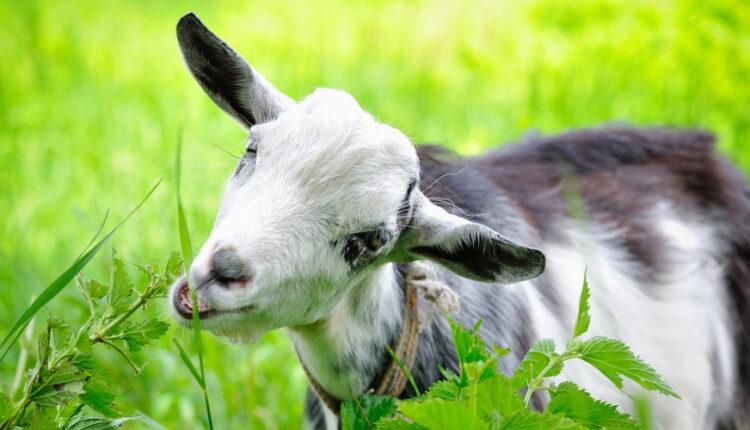 goat strays