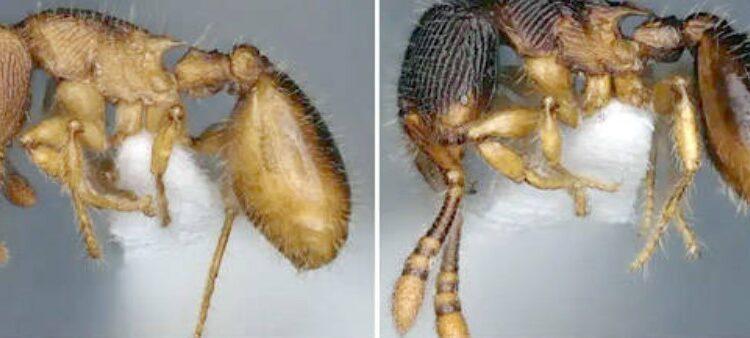 new ant species