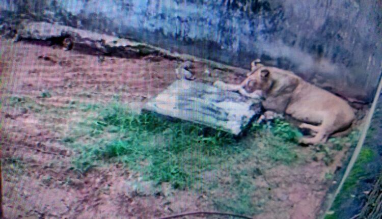 Lioness Bijili