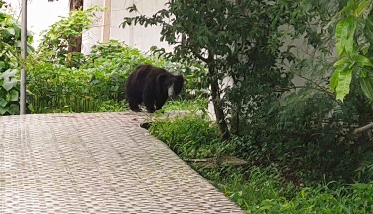 bear at nuapada collector house