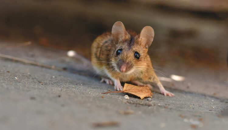 house-mouse-