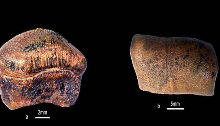 jurassic shark teeth