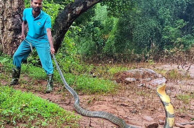 king cobra rescued